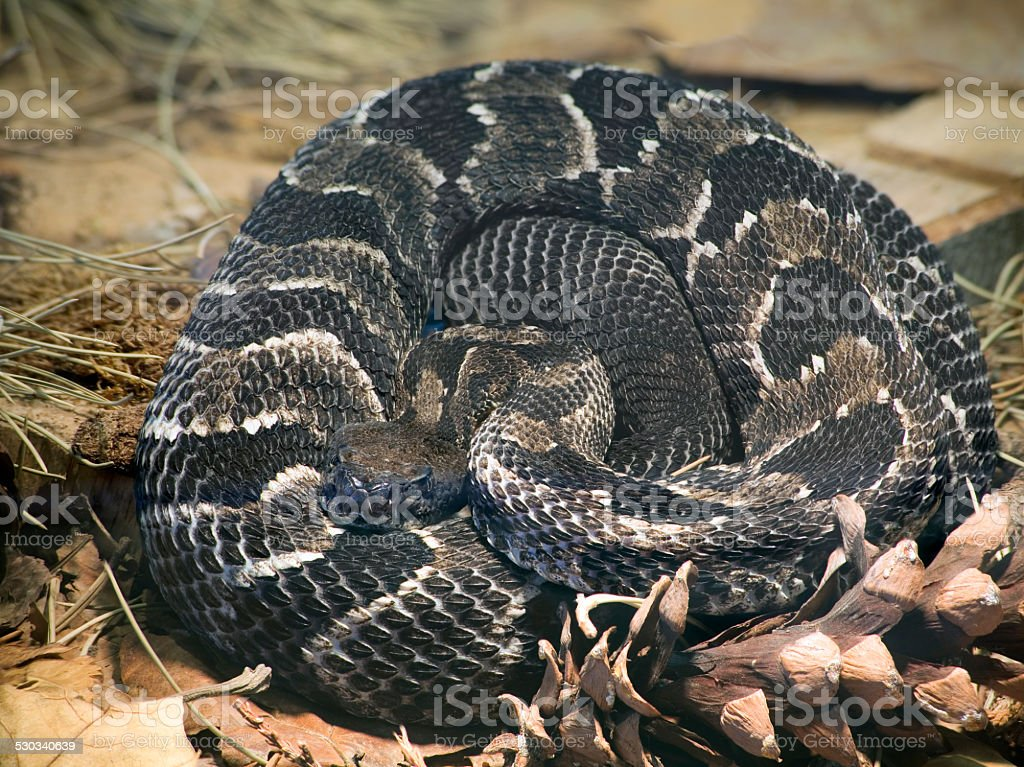 Timber Rattlesnake stock photo