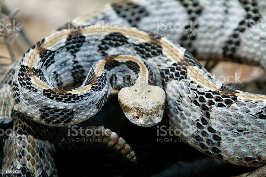 Timber Rattlesnake ready to strike. stock photo