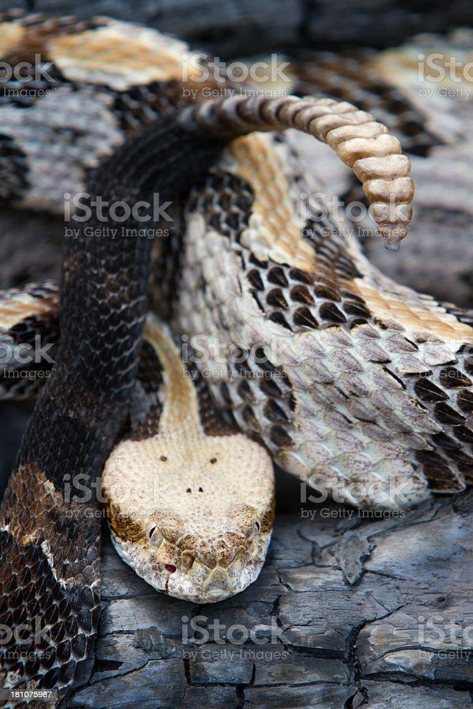 Timber Rattlesnake showing Rattle stock photo