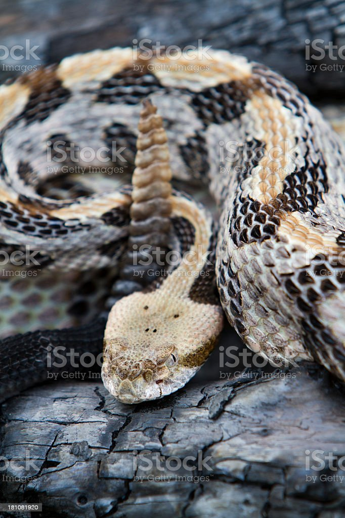 Timber (Canebrake) Rattlesnake with tail in the air stock photo