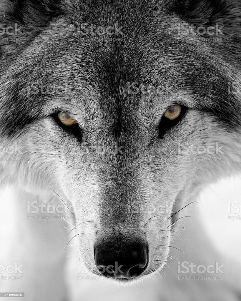 Timber wolf face stock photo