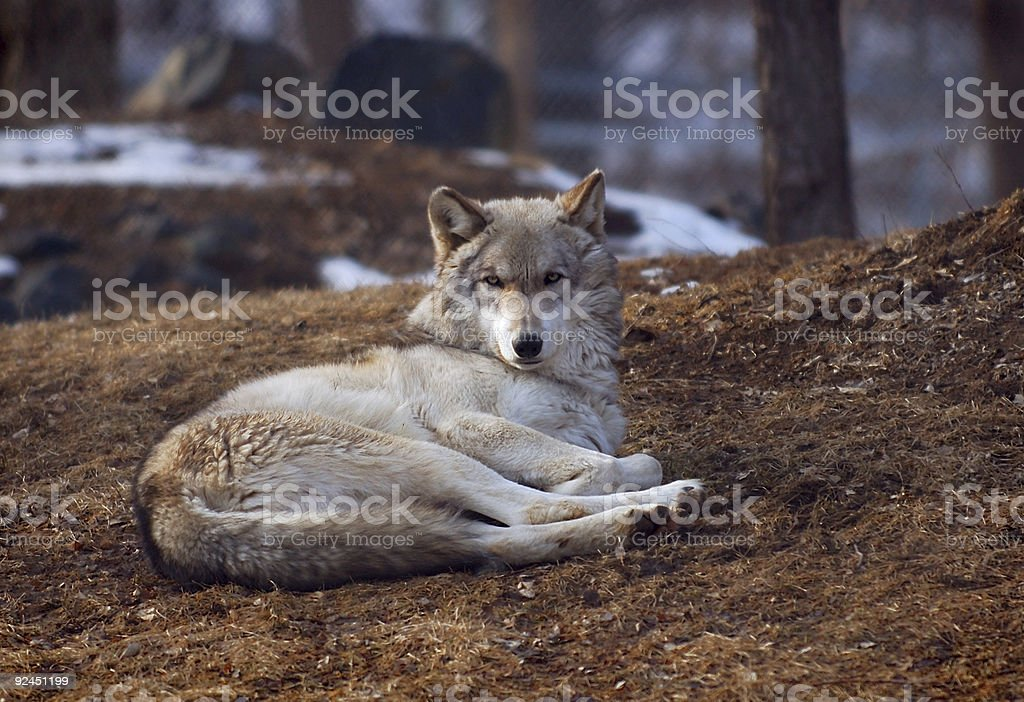 Timber Wolf lying down stock photo