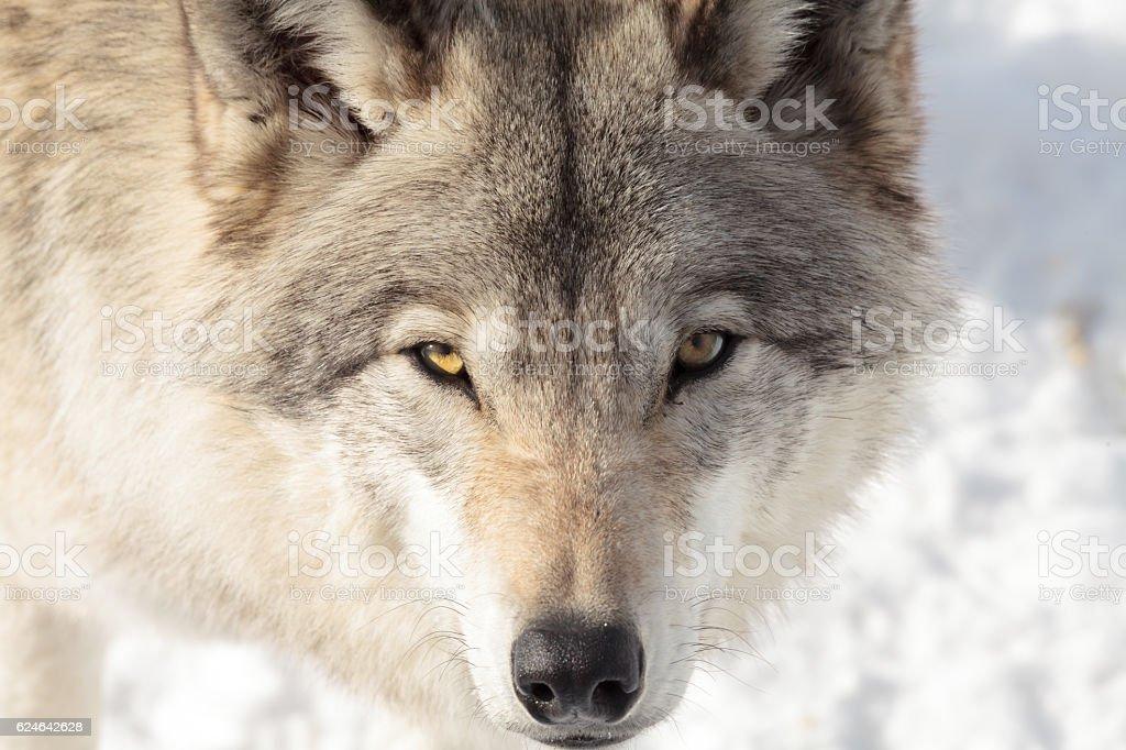 Timber wolf (grey wolf). stock photo