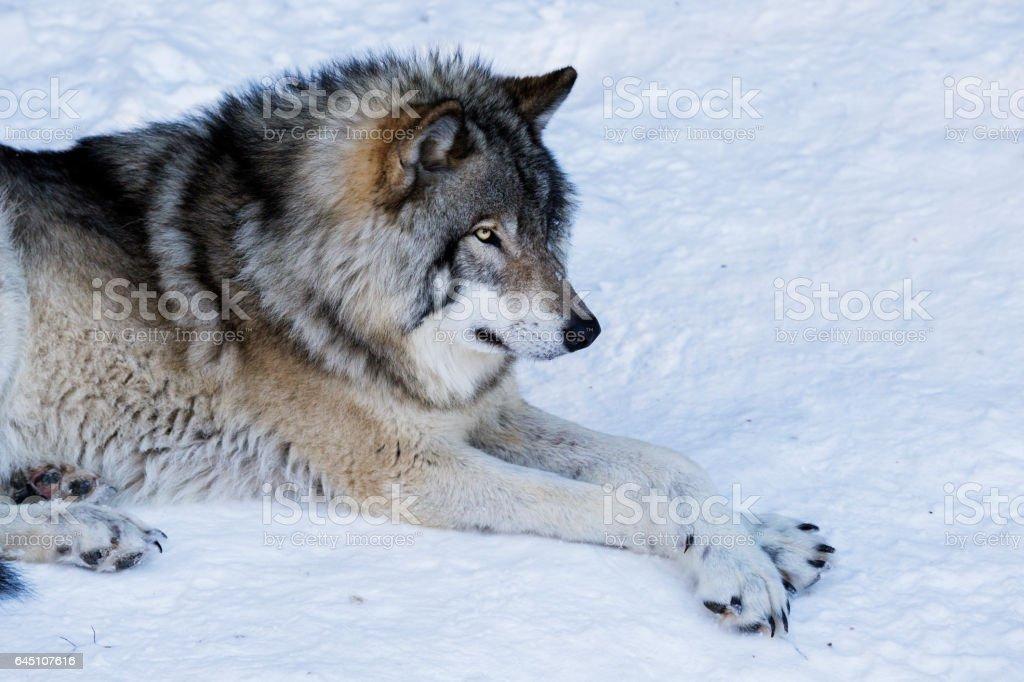 Timber wolf portrait stock photo