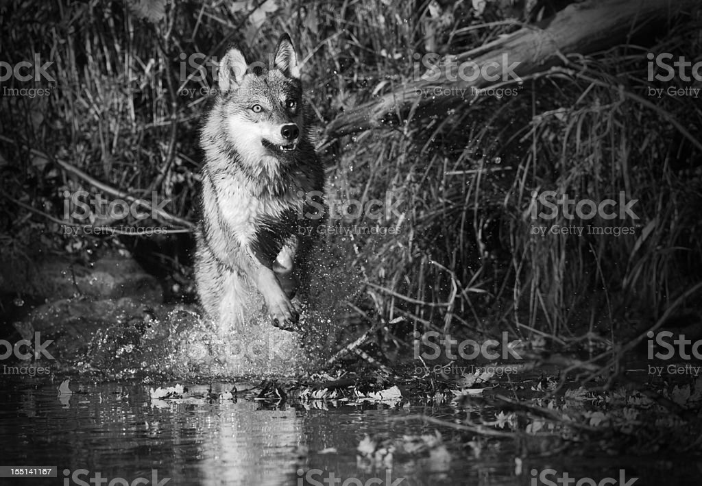 Timber wolf running chasing prey through shallow stream. royalty-free stock photo