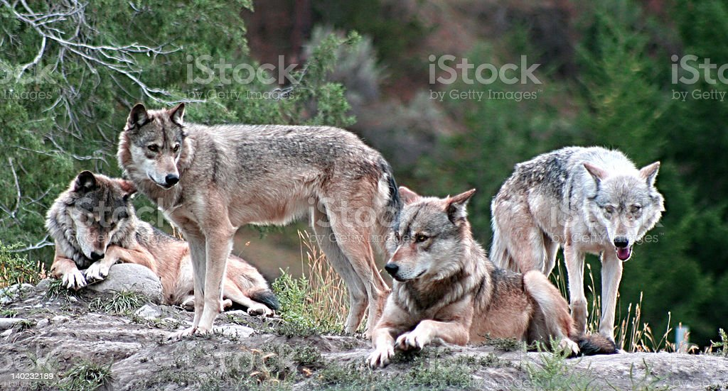 Timber Wolves royalty-free stock photo