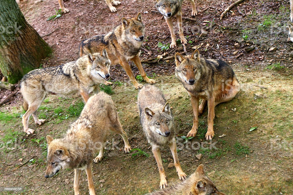 Timber Wolves stock photo