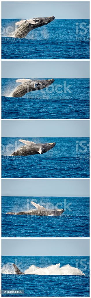 Time Lapse Sequence of Breaching Humpback Whale in Kauai Hawaii stock photo