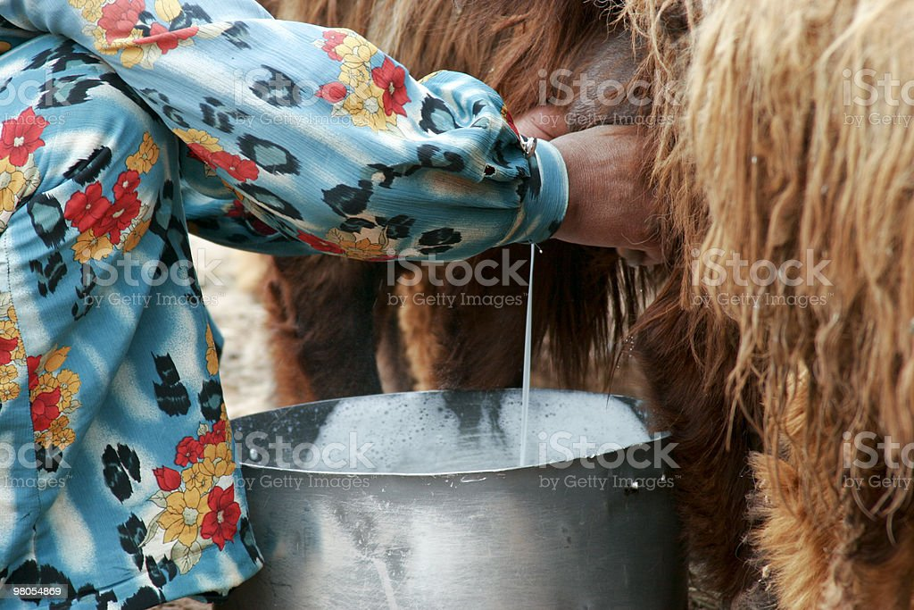 Time to Collect Sheep Milk royalty-free stock photo