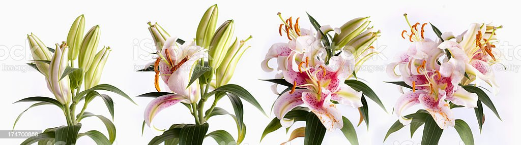 Time-lapse, stargazer lily blooming royalty-free stock photo