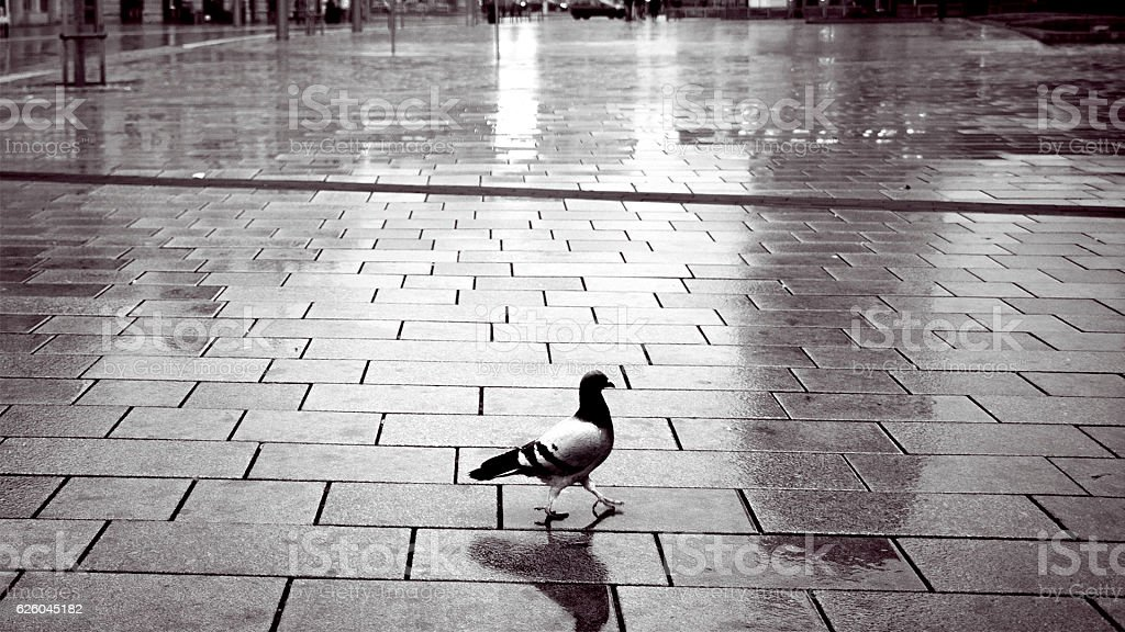 Timeless, Fabulous pigeon alone in the center of city stock photo