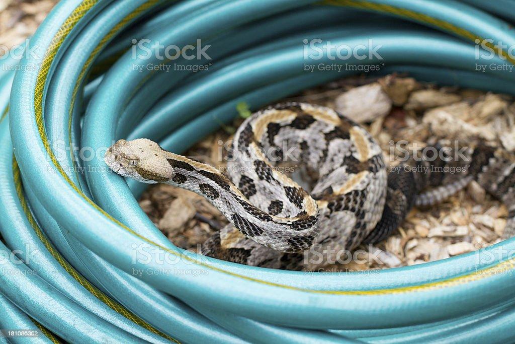Timer Rattlesnake in Garden Hose stock photo