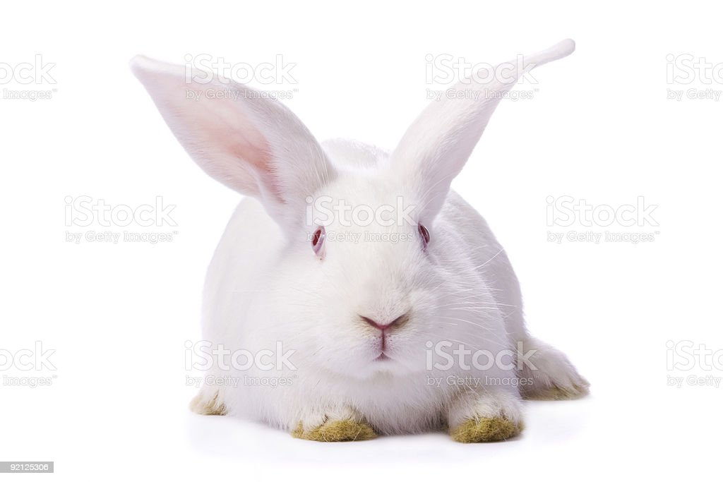 A timid young white rabbit with dirty yellow paws on white stock photo