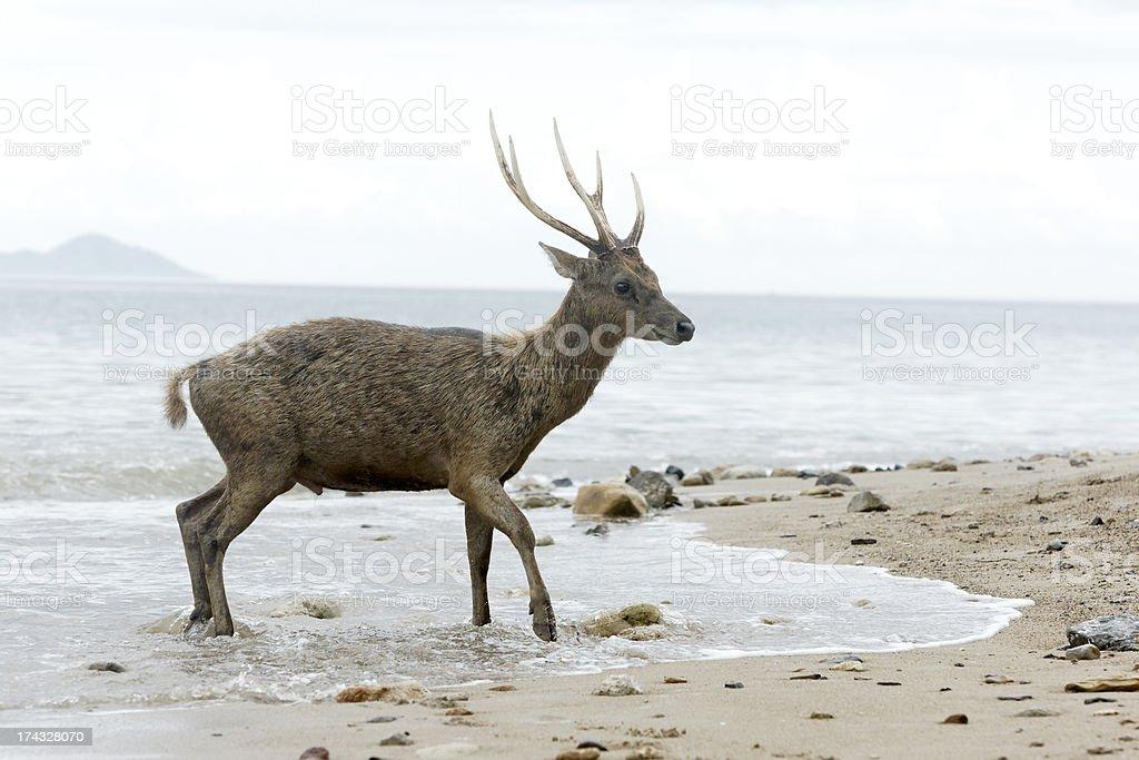 Timor or Rusa deer, Cervus timorensis stock photo