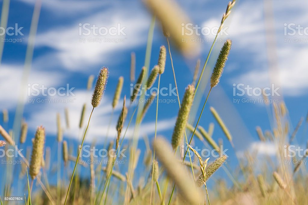 Timothy in meadow at summer stock photo