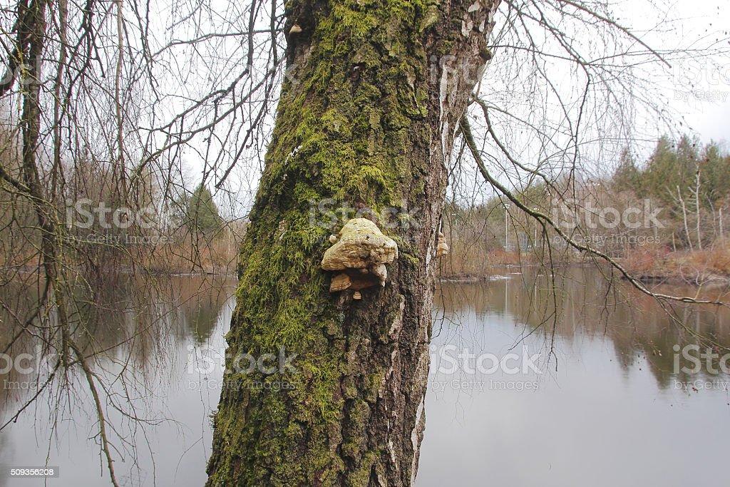 Tinder Bracket Fungus stock photo