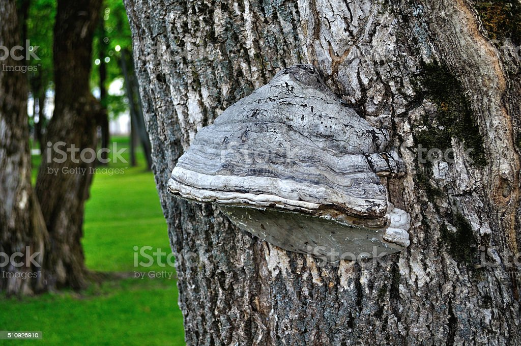 Tinder fungus  growing on the  tree trunk stock photo