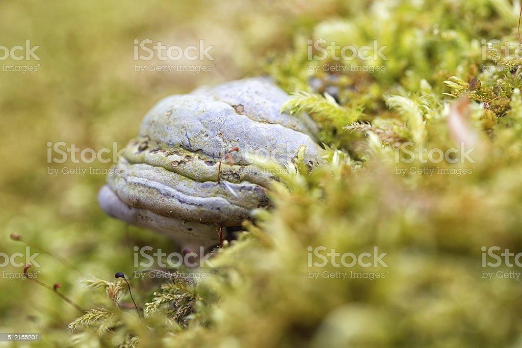 Tinder fungus in fresh moss stock photo
