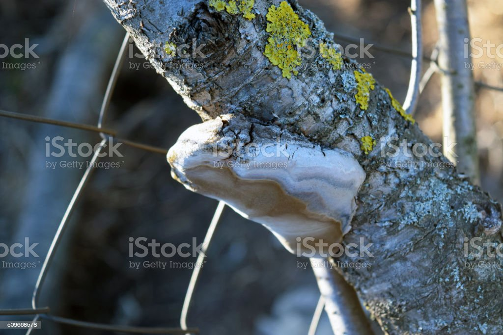 Tinder fungus on a branch stock photo