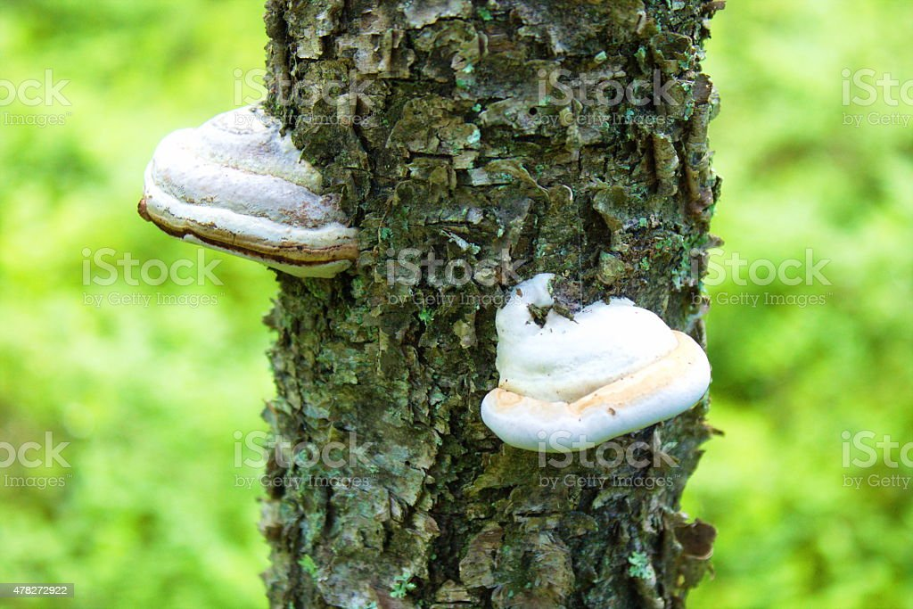 tinder fungus on tree in nature stock photo