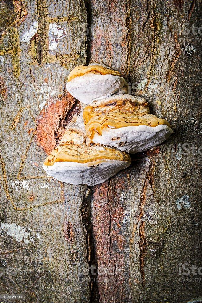 Tinder Fungus stock photo