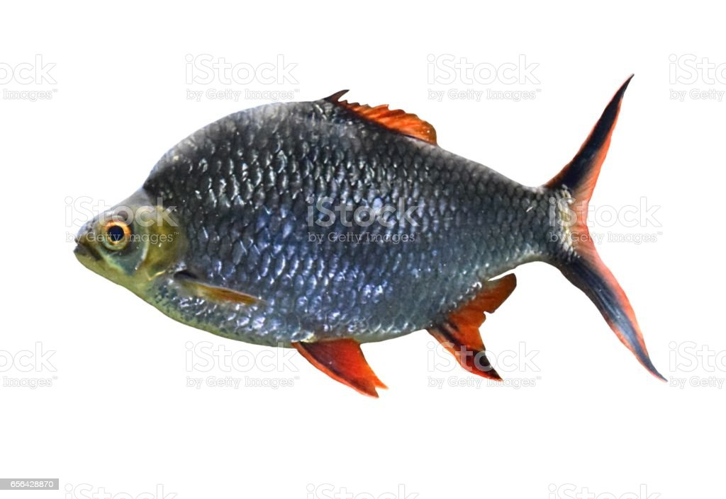 tinfoil barb tropical fish isolated on white background stock photo