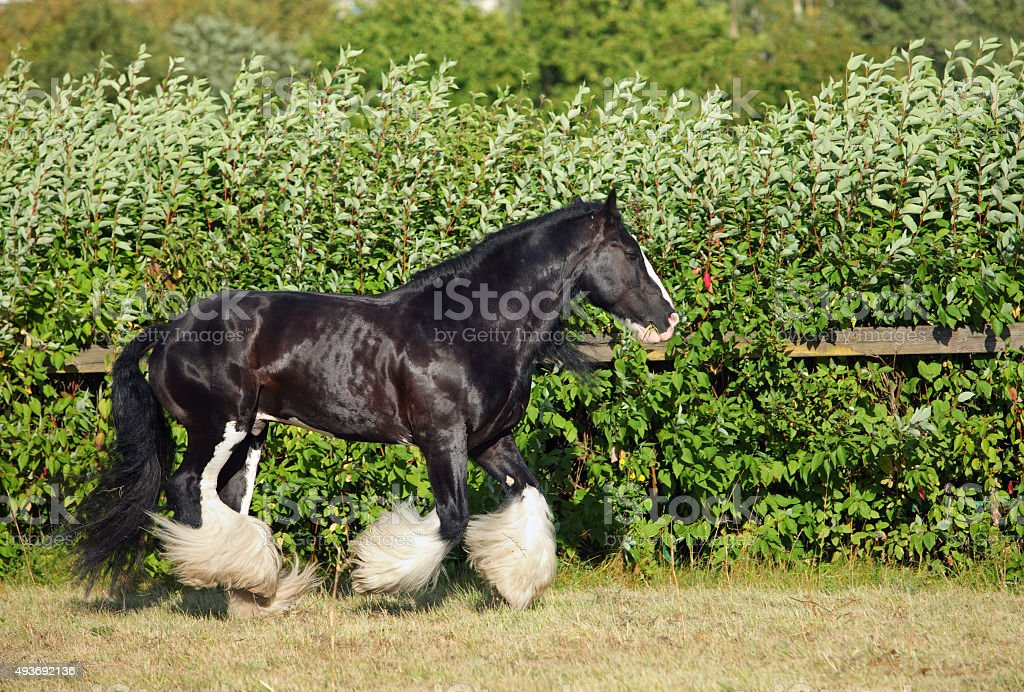 Tinker traveller pony with long tail stock photo