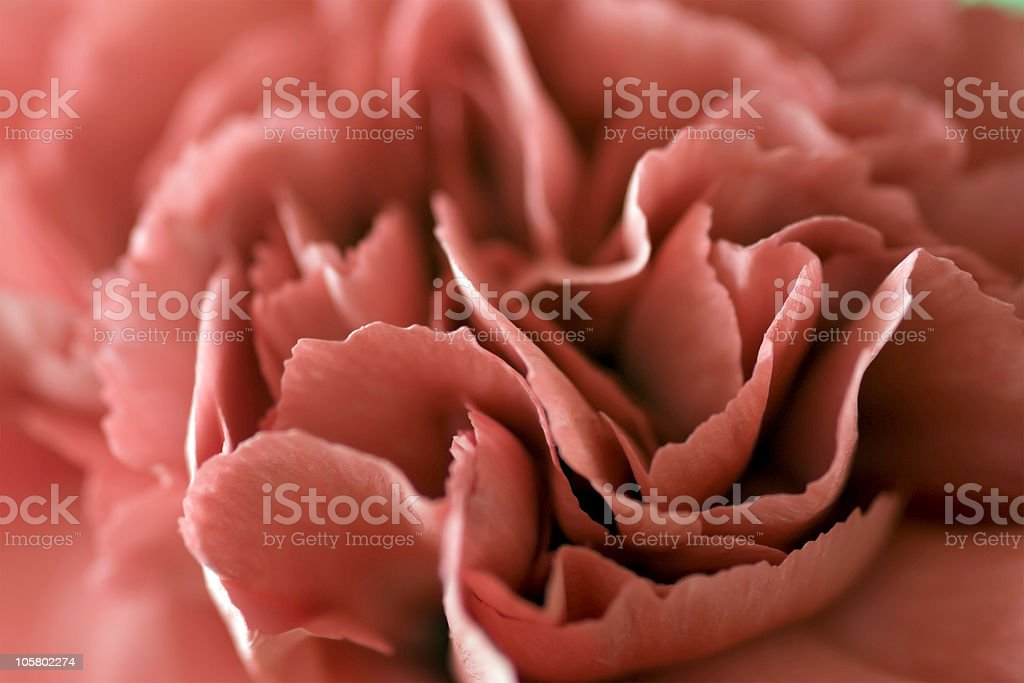 Tinted Carnation stock photo