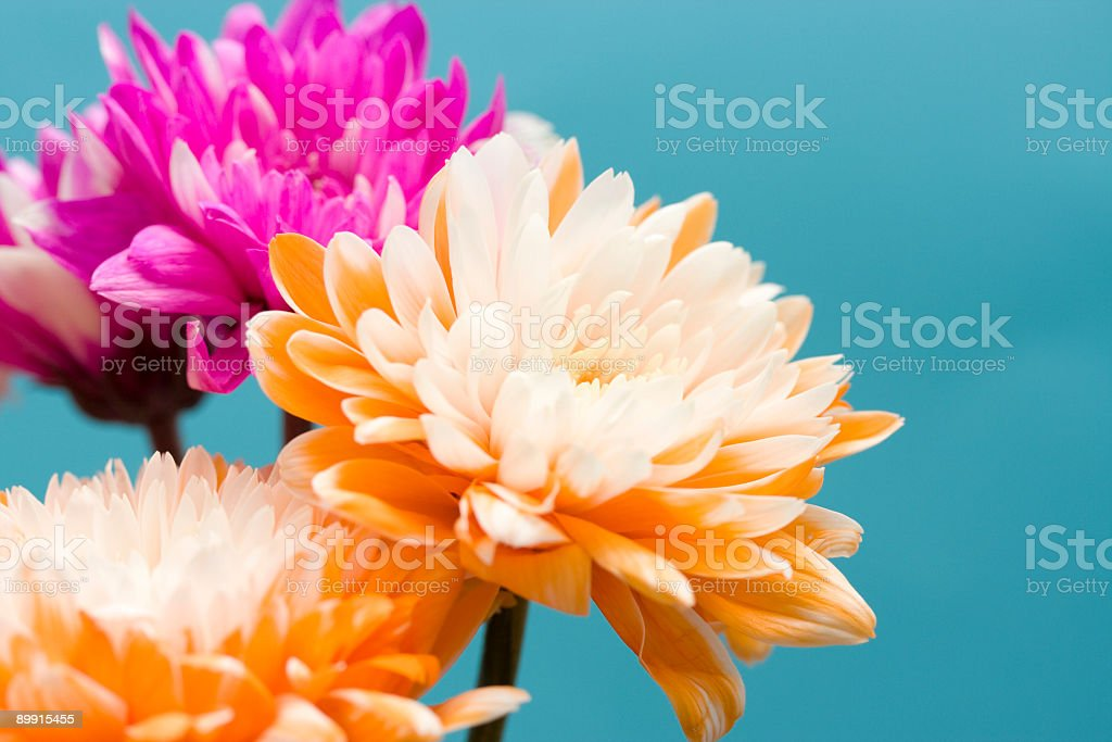 Tinted Chrysanthemum series royalty-free stock photo