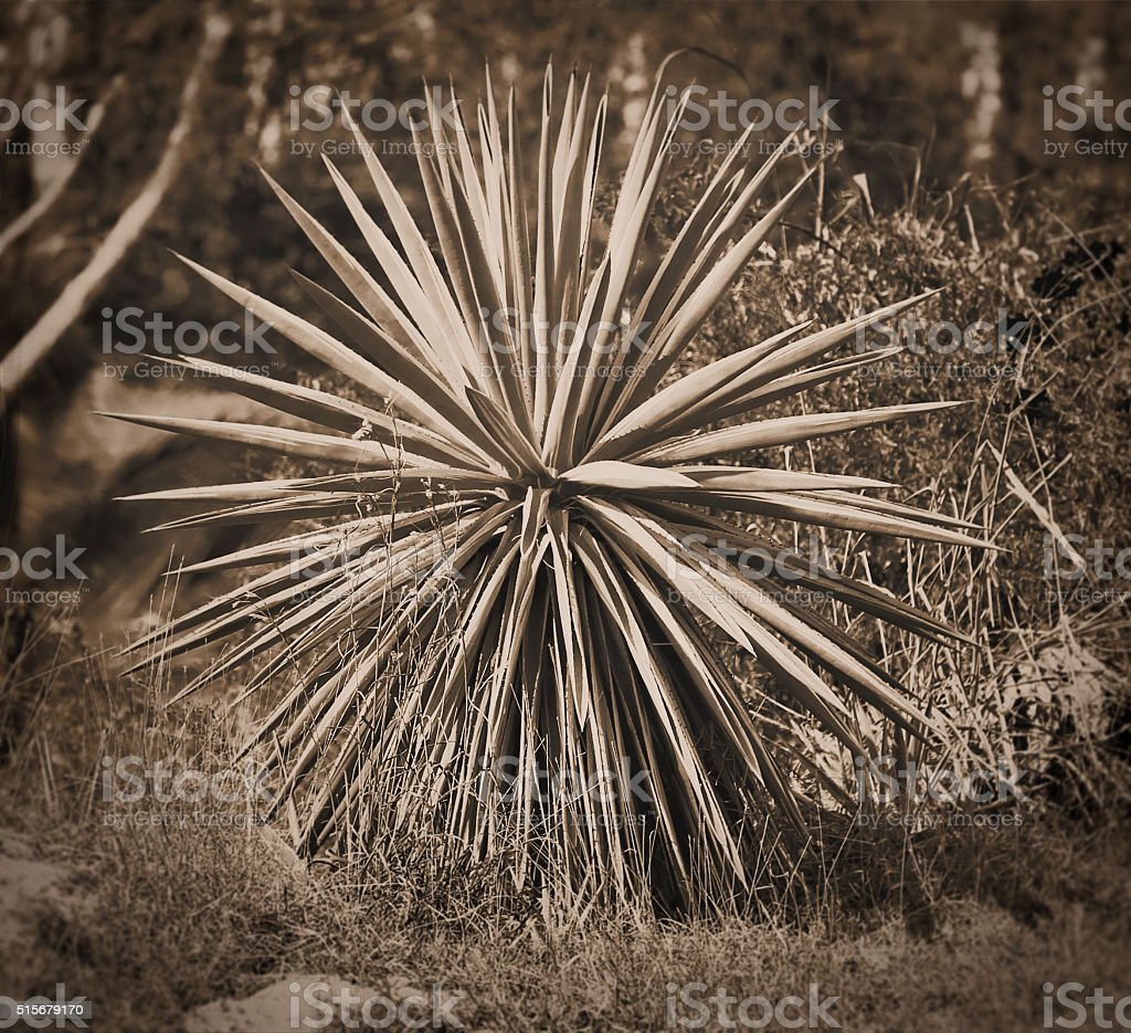 Tintype photo of a Blue Agave plant stock photo
