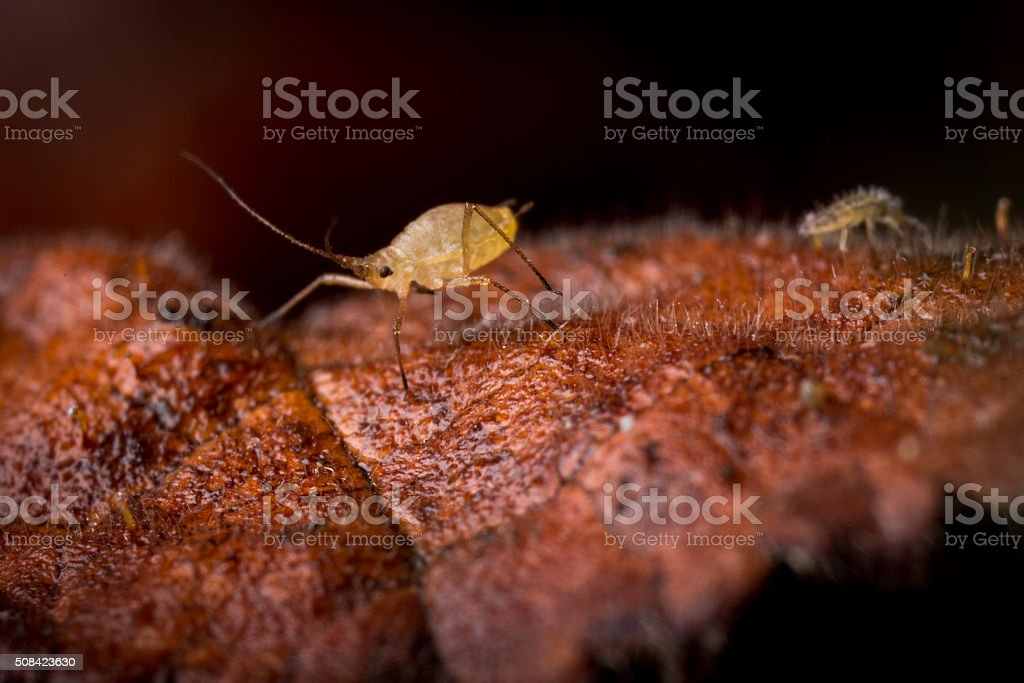 Tiny Aphid on a dead leaf. stock photo