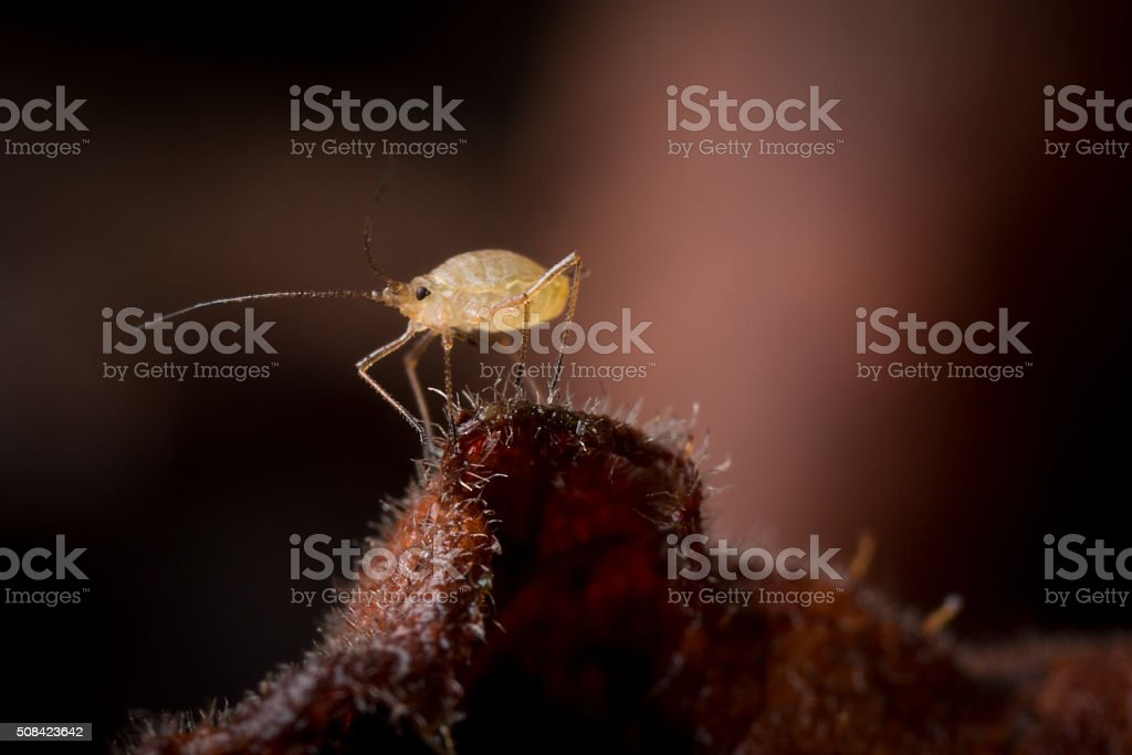 Tiny Aphid on the edge of a leaf. stock photo