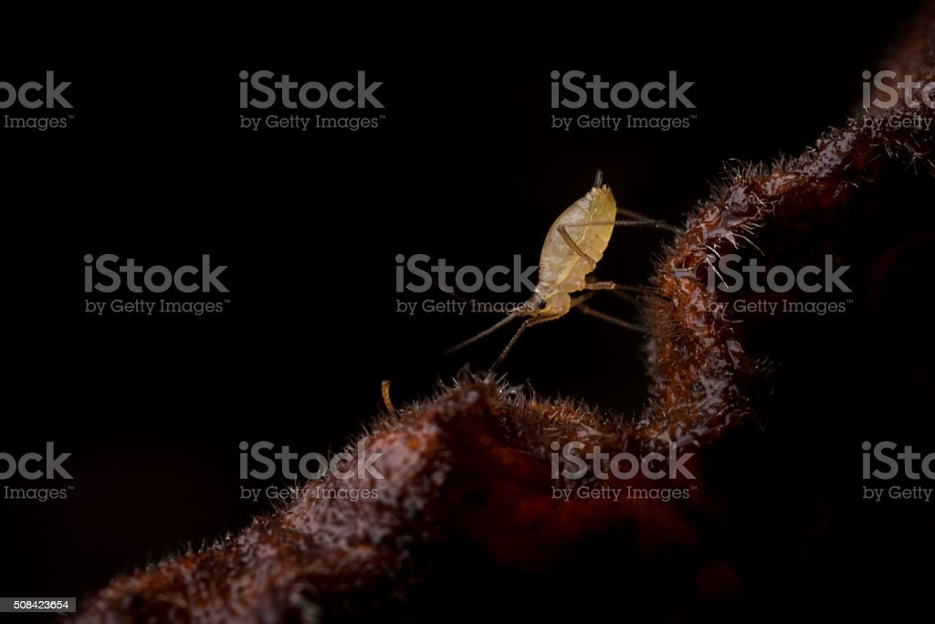 Tiny Aphid walking along the edge of a dead leaf. stock photo