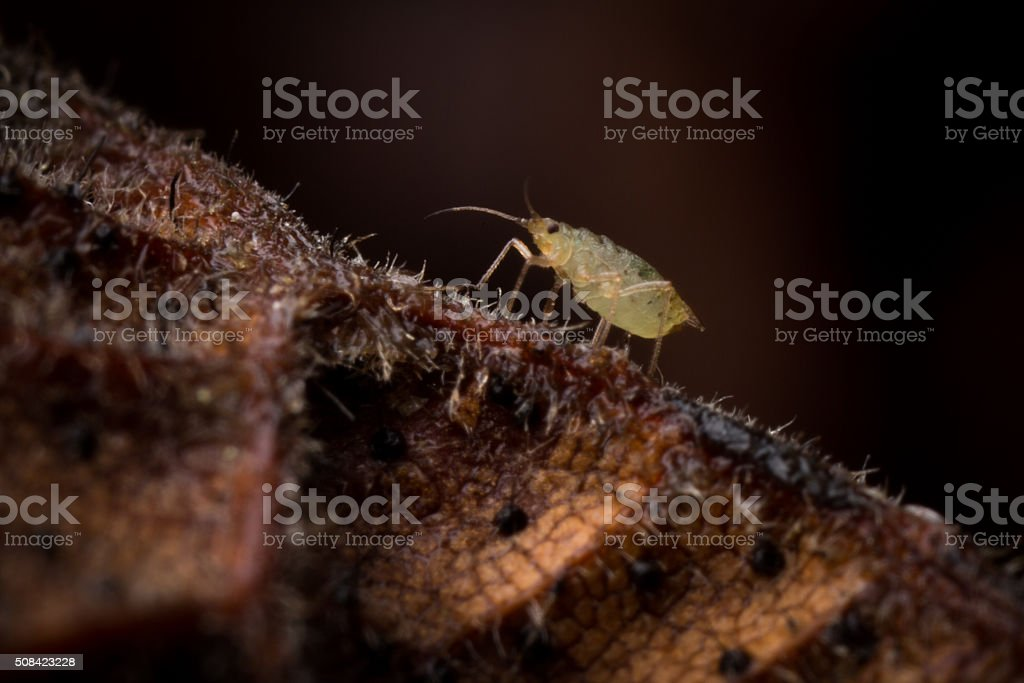 Tiny aphid walking along the edge of a leaf. stock photo