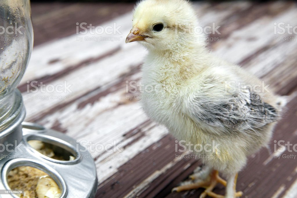 Tiny Aracuana Chick chicken with Rare White Coloring Eating royalty-free stock photo