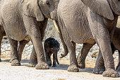 Tiny baby elephant with mum