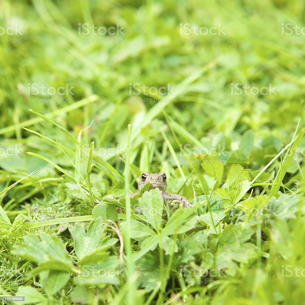 Tiny baby frog peering out curiously over the long grass royalty-free stock photo