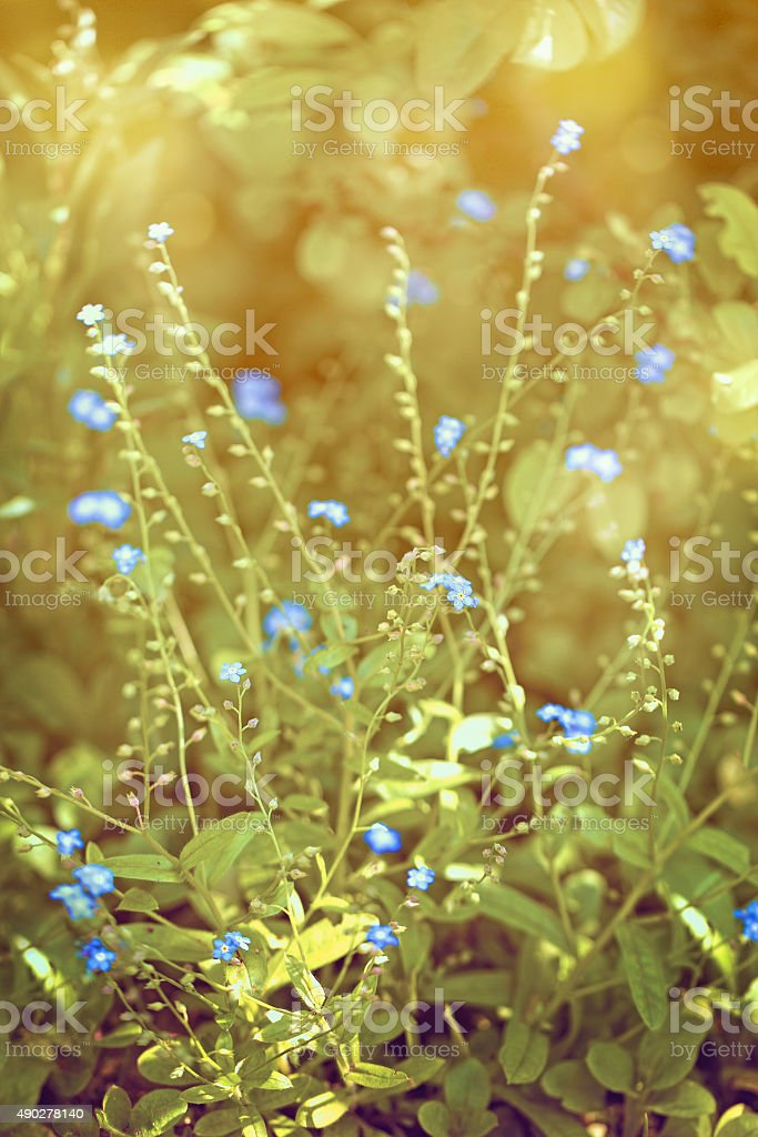 tiny blue flowers stock photo