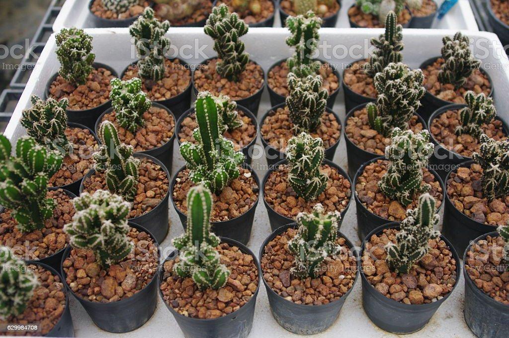 Tiny cactus. stock photo