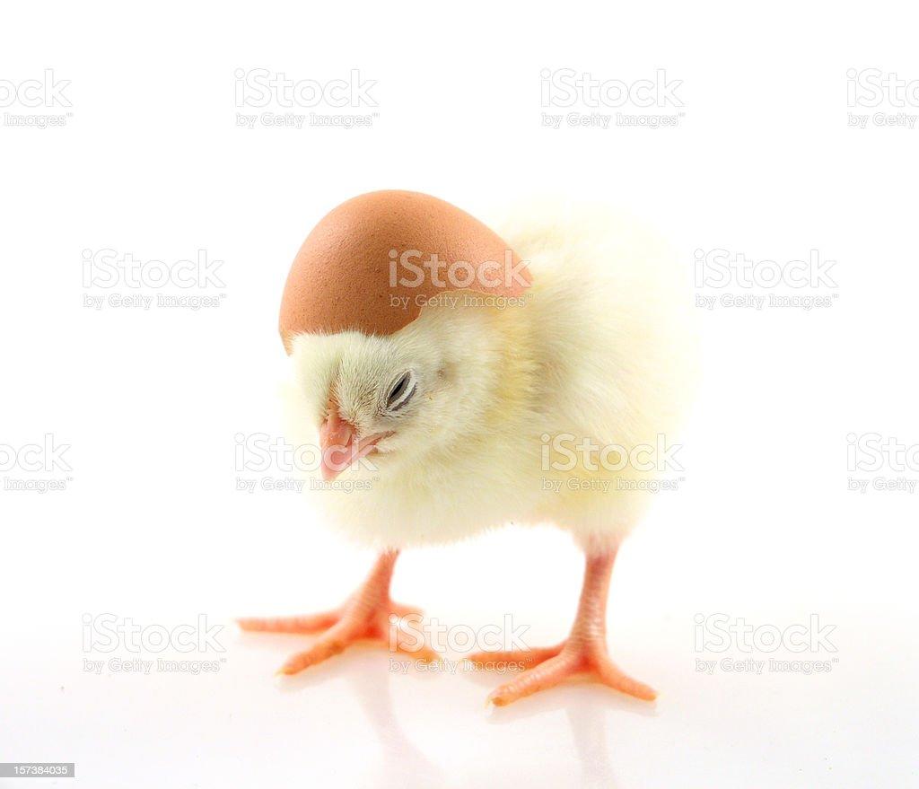 Tiny chick with helmet royalty-free stock photo