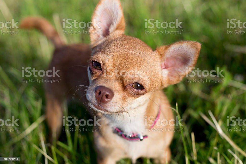 tiny chihuahua on a grasse stock photo