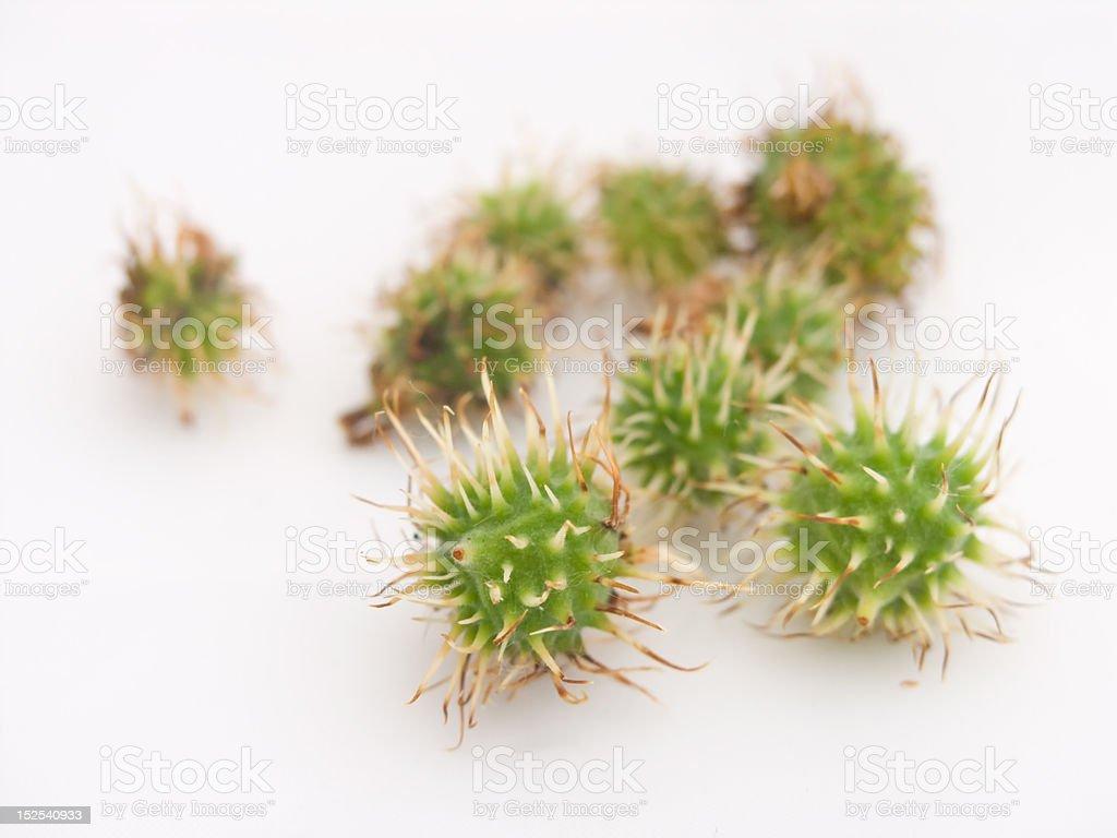 Tiny conkers stock photo