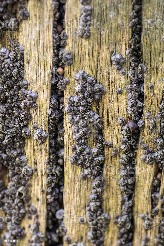 Tiny Crustaceans on Wooden Post stock photo