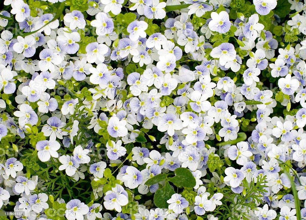 Tiny cute flowers royalty-free stock photo