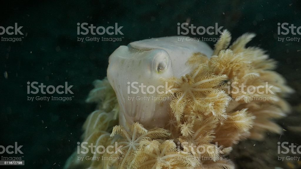 Tiny cuttlefish hiding in soft coral, Bali, Indonesia stock photo