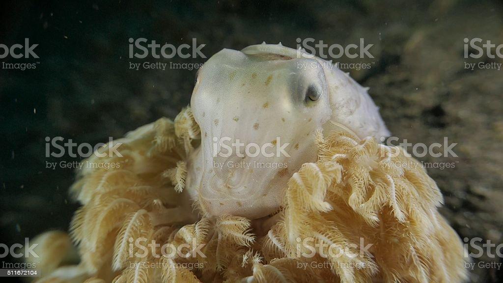 Tiny cuttlefish, soft coral, sea floor, Bali, Indonesia stock photo