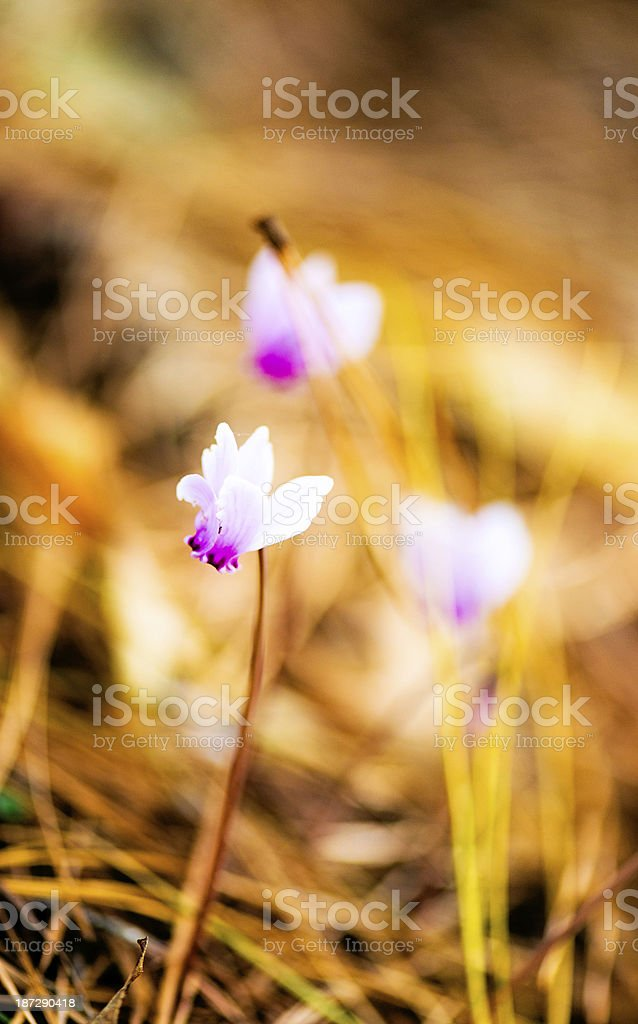 Tiny Cyclamen Growing on Forest Floor royalty-free stock photo
