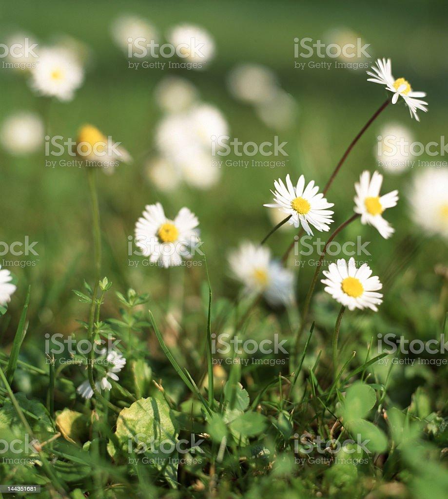 Tiny Daisies royalty-free stock photo