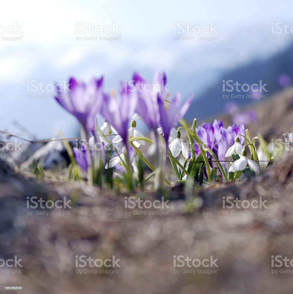 Tiny Delicate Snowdrops stock photo