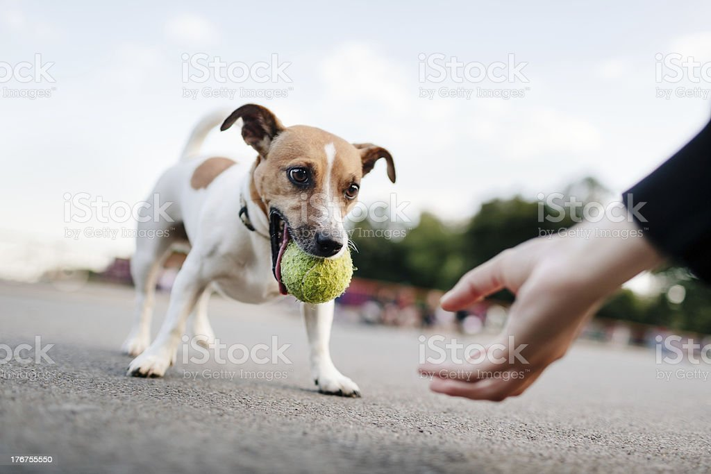 Tiny Dog (Jack Russel) Wants To Play With Ball stock photo